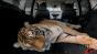 Bridgestone - 'Quiet Tiger' Image